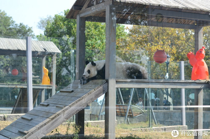 懒洋洋的熊猫