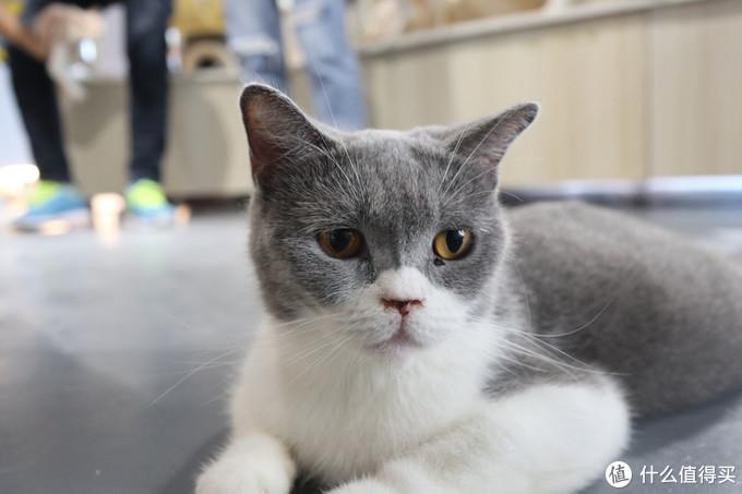这只猫咪怀孕了,只能以这种肚皮贴着地板的姿势趴在地板上