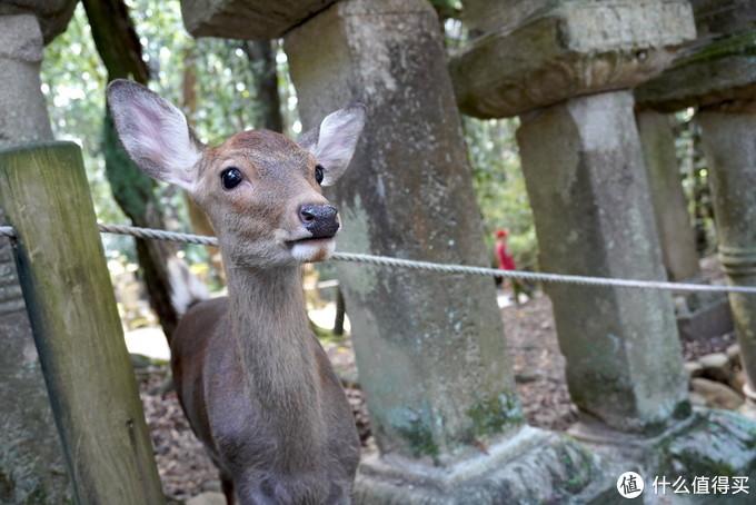 日本亲子游篇一:奈良小鹿四绝技,我们体验了三