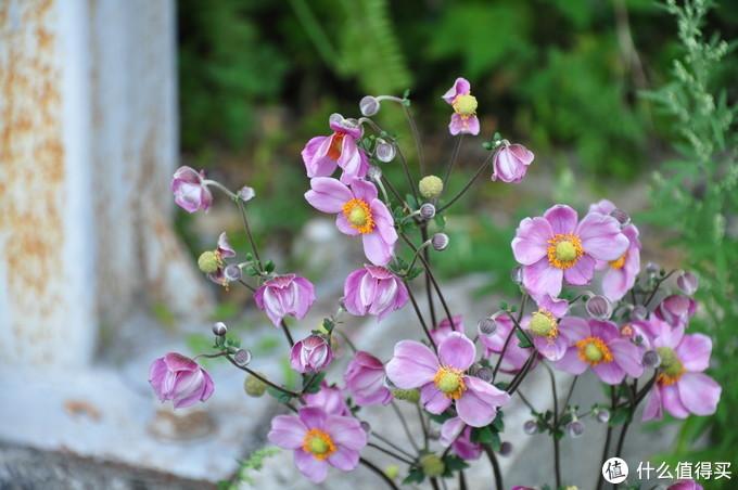 前往观景台途中看到的话,铁筷子的花