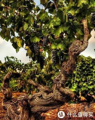 柏觅红酒 | 澳洲老藤西拉(Old Vine Shiraz)葡萄酒