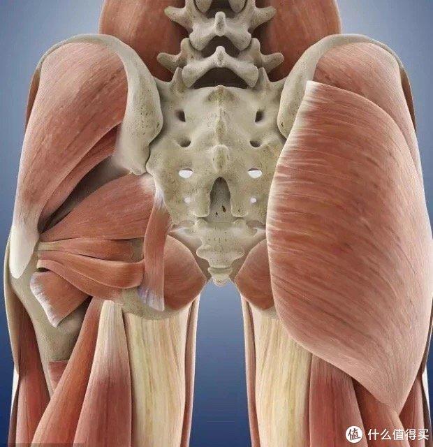 ▲臀部解剖图,左上:臀中肌、臀中肌,左下:臀小肌 。右下:臀大肌。