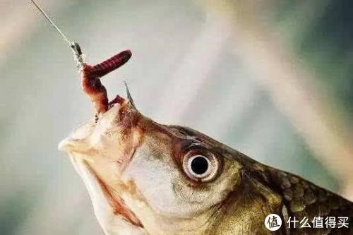 """蚯蚓钓鱼怎么用?学会这些技巧,才能真正发挥""""万能钓饵""""威力!"""