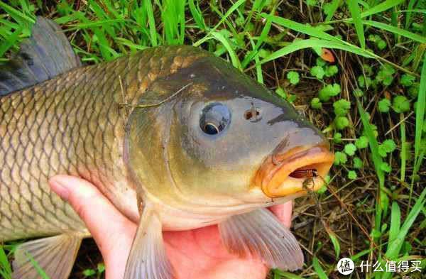 挂玉米粒钓鱼的具体方法