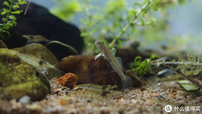 雌性雀斑吻虾虎鱼