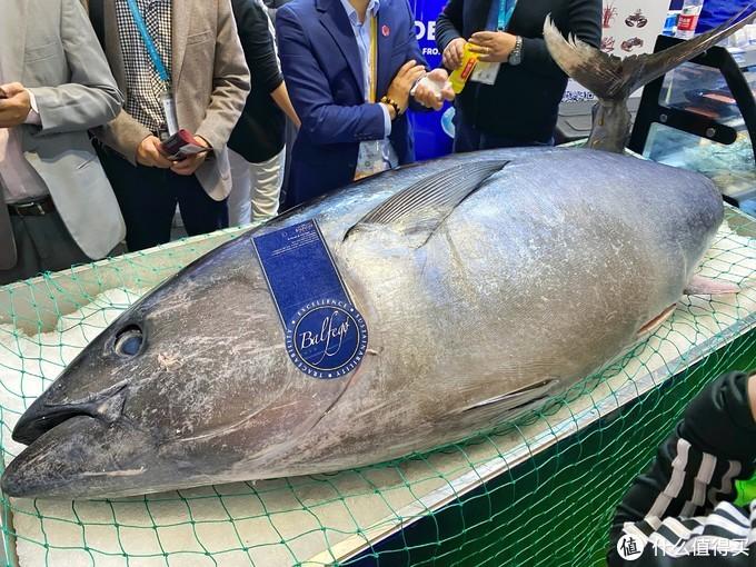 其实,重头戏是这只500斤的蓝鳍金枪鱼。前一天是一只600斤的蓝鳍,而今天是它的弟弟。撸主很安奈不住激动地心想要试吃,被告知要等到下午才有品鉴会。结果到了下午,得等到央视拍完新闻才能开始。上了央视的蓝鳍金枪鱼,最终还是没吃到,到了下午腿就不是腿了,一分一秒都不想走了。鱼精,再会,我们明年再约。
