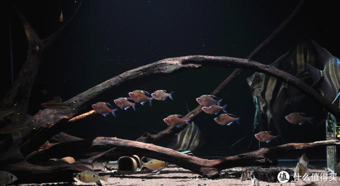 血心大帆,埃及神仙鱼的绝佳配鱼