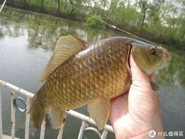 """小鱼闹漂太烦心?这种饵料取材简单不招小鱼,堪称""""鲫鱼杀手"""""""
