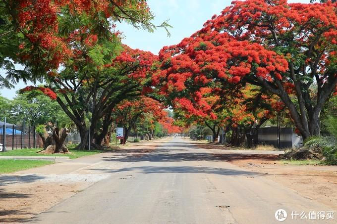 现在正是津巴布韦凤凰花盛开的季节。