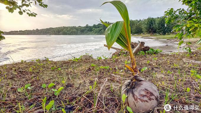 纳闽棕榈度假酒店海滩上的小椰子树