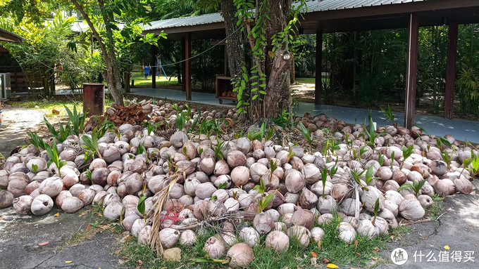 纳闽棕榈度假酒店院里堆积的椰子