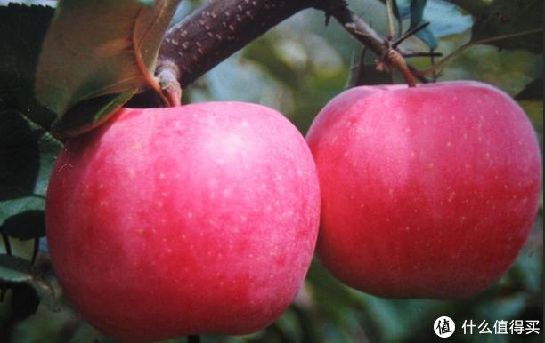 一个小小苹果也包含不少学问,市面苹果选购及品种知识经验谈之分享