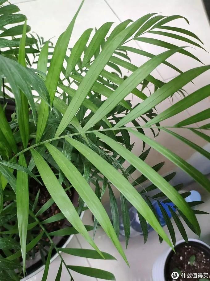 想让袖珍椰子四季常绿,需要注意这4点