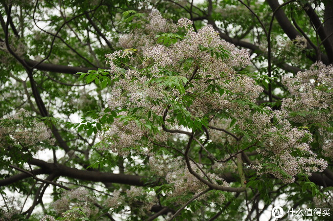 满树繁花,特别漂亮,楝树估计现在也没有多少人会去种植了吧,在我们这边也变成了小数物种了。