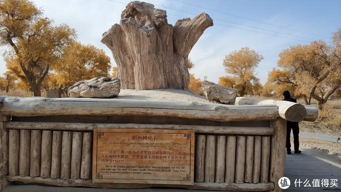 胡杨木化石