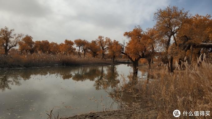 胡杨树、芦苇和湖泊