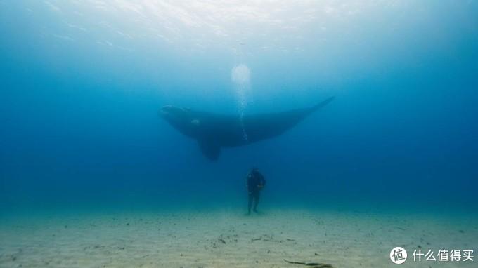 当潜水员站在海底,南露脊鲸从他身边游过的时候真的太让人感动了。 命运以痛吻我,我必报之以歌。