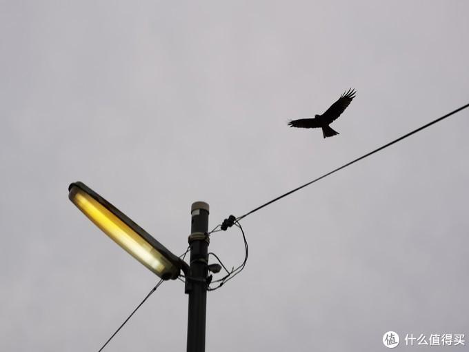 这只摆出捕猎姿态的鹰跟了我一路
