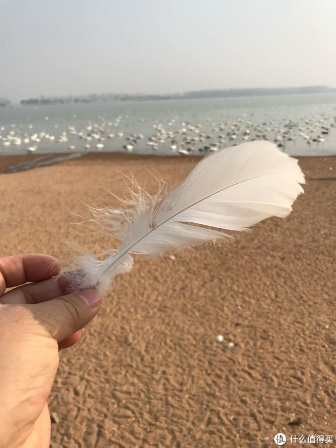 一根洁白的天鹅羽毛