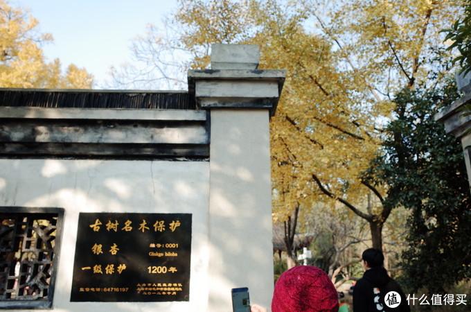 """""""上海第一古树"""" 编号0001的古银杏树王 ,1200多年只为等你"""