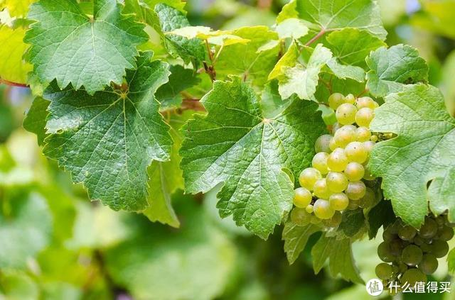柏觅红酒 | 喝葡萄酒,一定要认识的十大热搜葡萄品种
