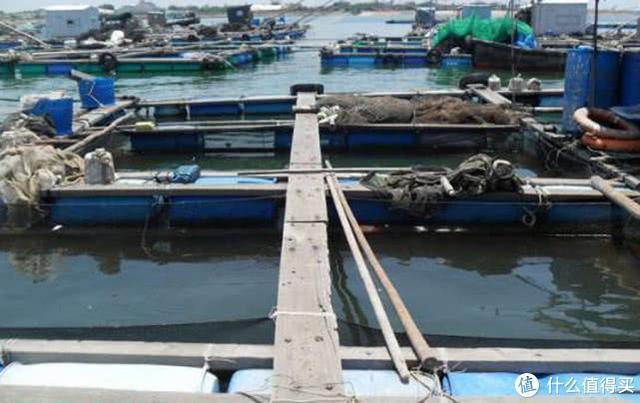 近海养殖排,因为养殖户天天有投喂,遗漏的食物也非常丰富,野生海鱼常会游至,鱼排上做钓鱼常有不菲收获