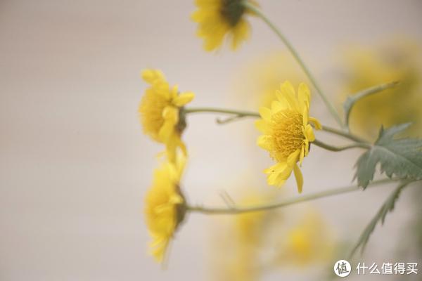 房顶的野菊花