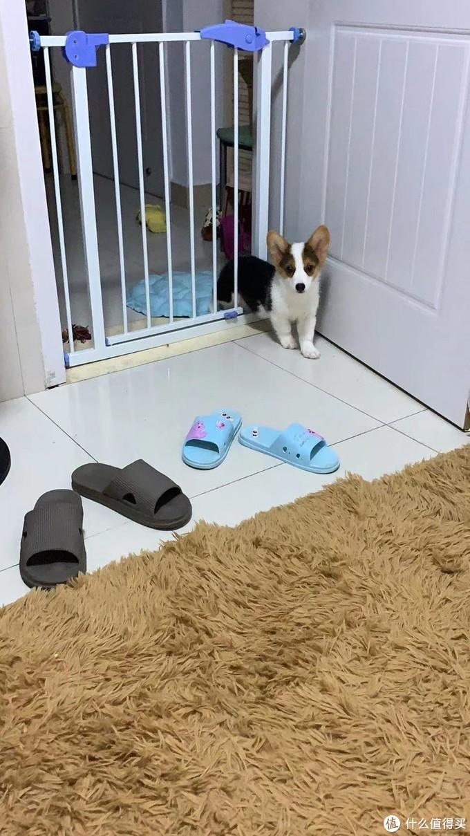 一只傻狗在我家~柯基芒果