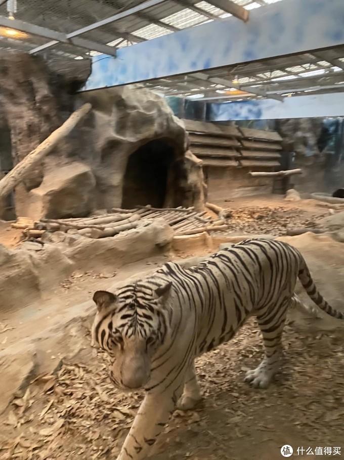 很少见的白虎,白色的毛属于一种突变