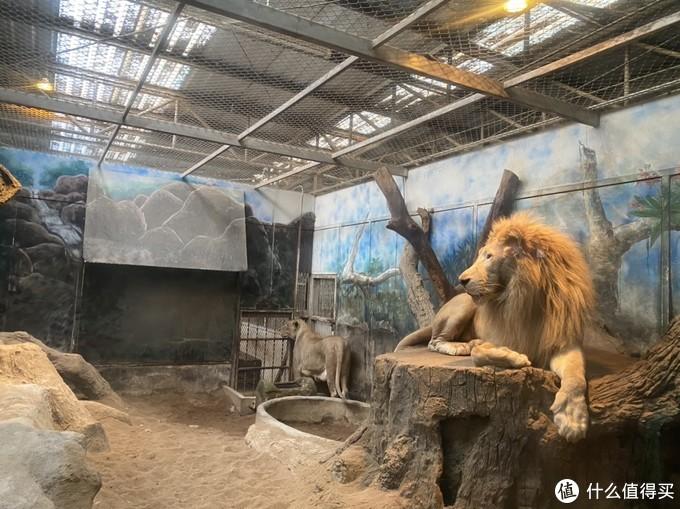 狮子真的非常慵懒