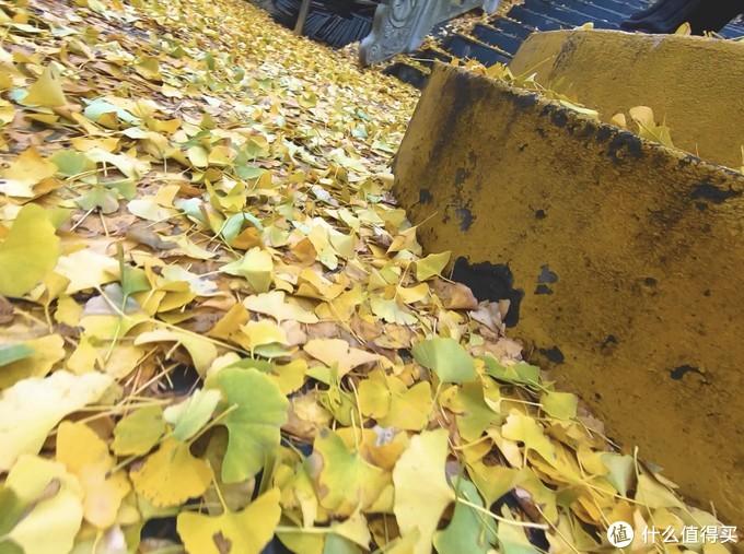地面的银杏落叶