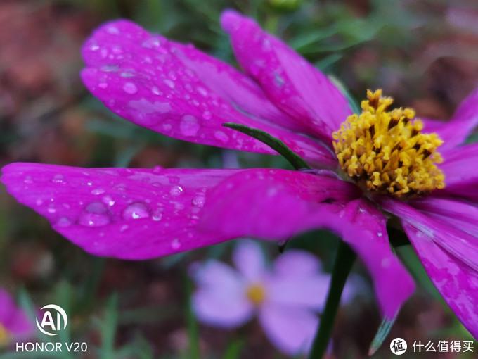 荣耀V20:1秒告诉你怎么拍出超级微距花卉!