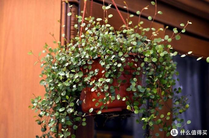 家居植物不好养?不存在的,这几种植物便宜又好养!