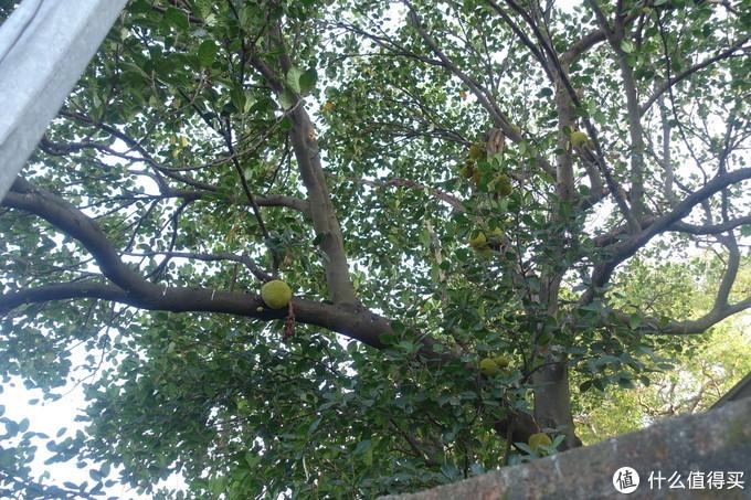 路遇波罗蜜树