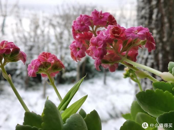 长寿海棠,年前就在开放,果然长寿。