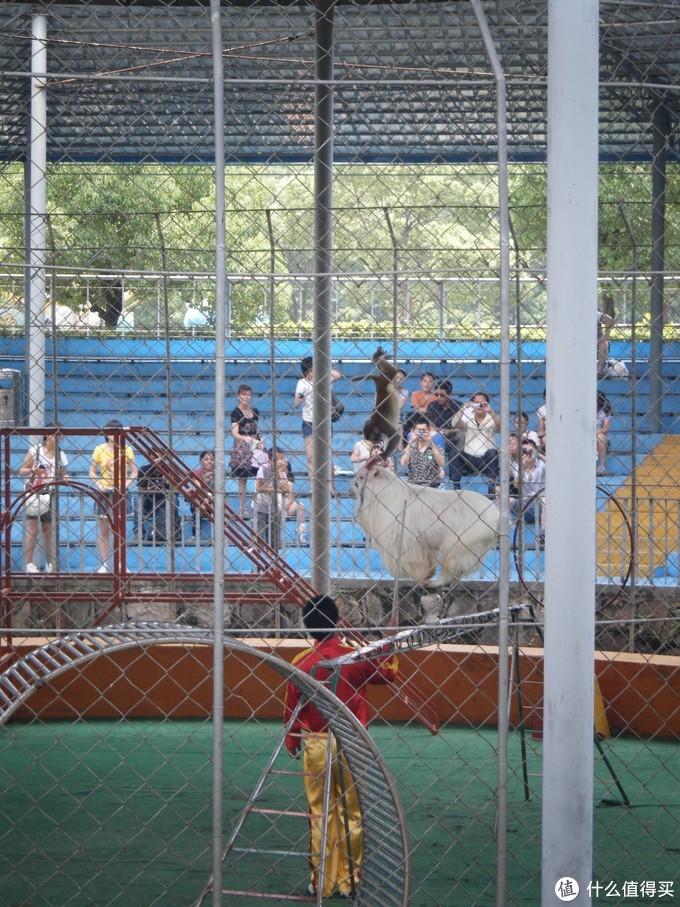 上海野生动物园游记→看小浣熊,看长颈鹿,看黄老虎,看白老虎,看大小熊猫