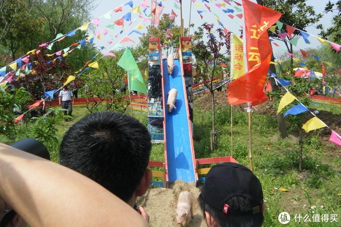 浦东南汇桃花村/桃园,看黑白小猪游泳和跑步比赛,还有各种家禽,游湖游船