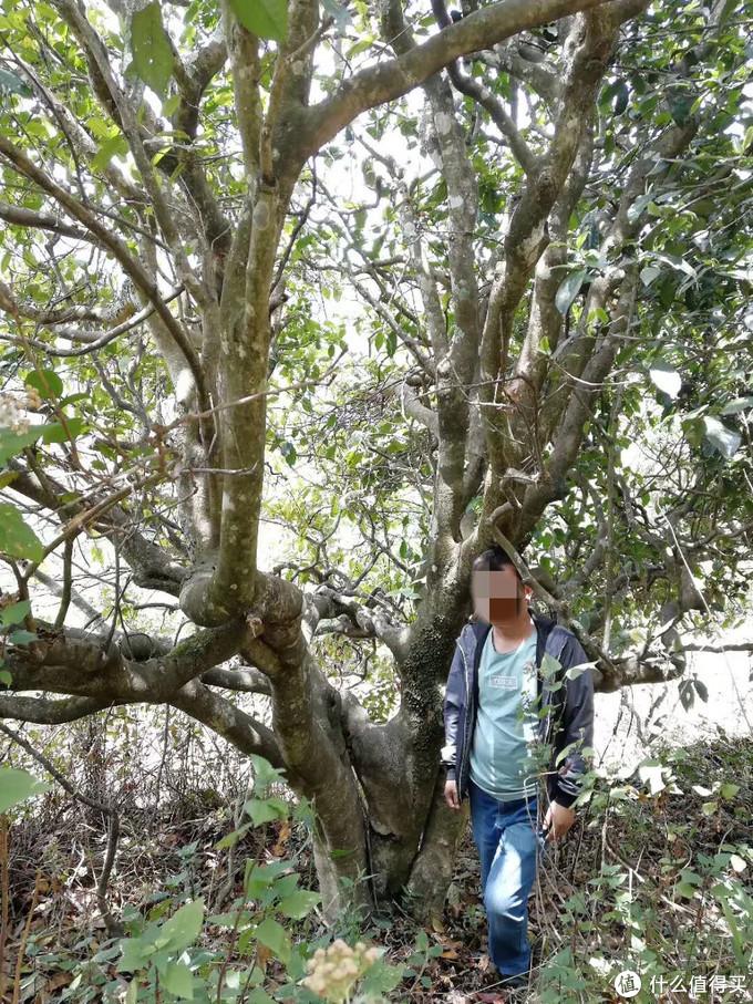 当地认识的政府工作的朋友,热心带我们上山,驱车一小时多,徒步40分钟,就为了看这棵古树,注意分叉从腰部开始,不同树种分叉位置不同