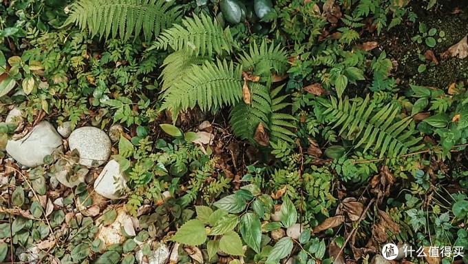 花园原生的蕨类