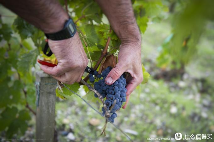 酿酒葡萄是怎么收的?一串串摘吗?