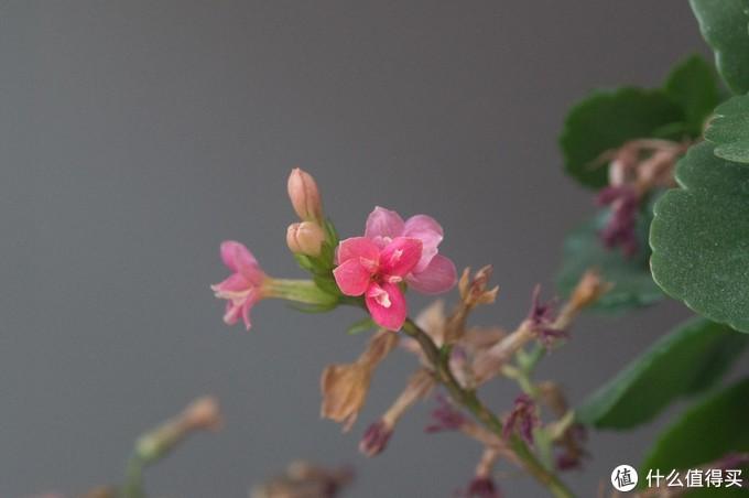 顺手拍了一张阳台上的花,没有调色,个人感觉颜色还是比较油润的,典型的老头的味道