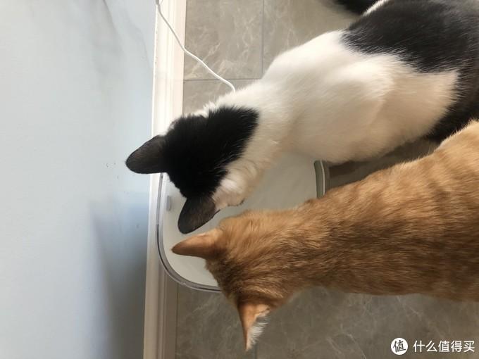 两只猫猫一起喝水也可以