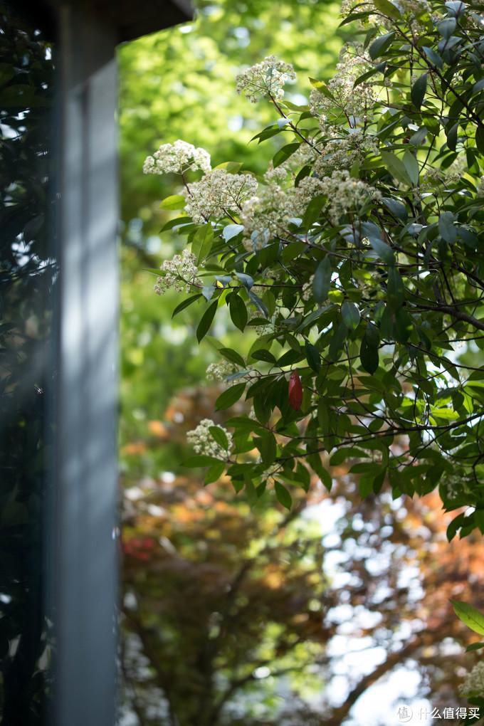 ↑窗前的石楠树