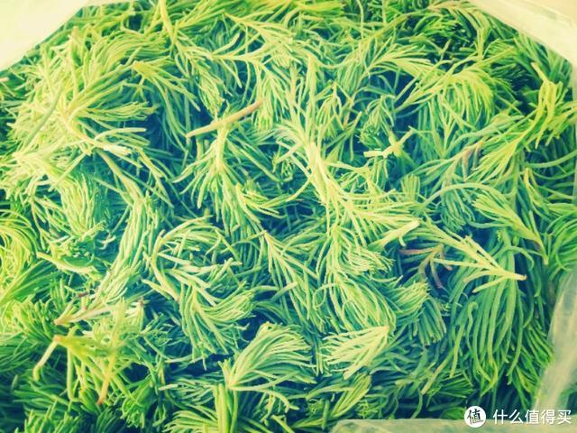 它是海边野菜,生长在盐碱地,味道鲜美有营养,错过再等一年