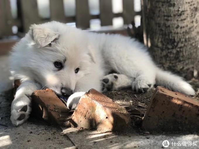 这个小狗从小就喜欢在院子里的桂花树下玩
