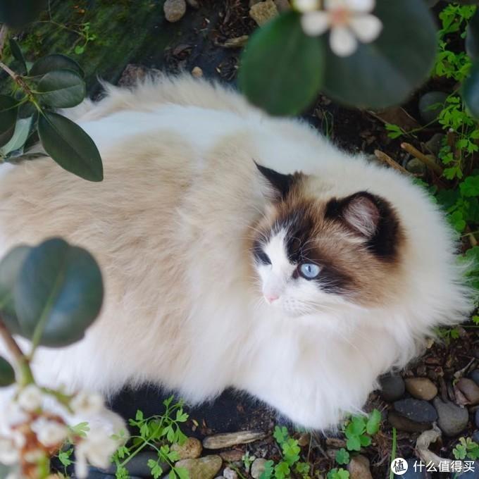 以前房东家的布偶猫