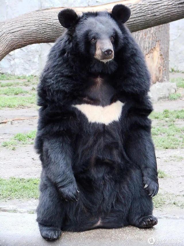 已有4人被咬死,小心熊吃人!