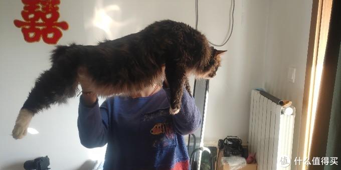 现在胖虎已经是14斤的大猫咪了
