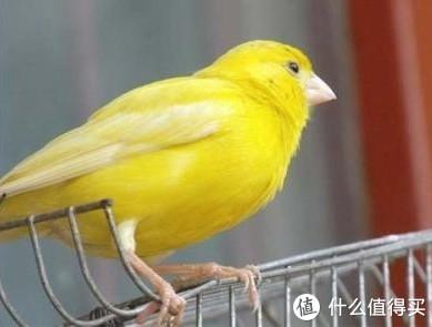 家养的黄鸟大概是这种,不过是红眼红嘴的。