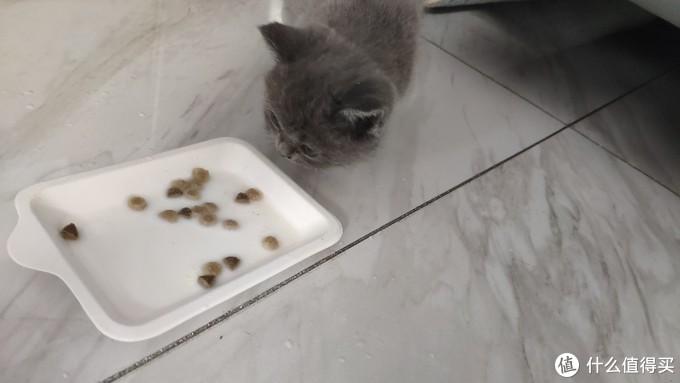 比较尴尬,猫食盆第二天才能到,家里没有合适的浅碟,所以暂时凑合一下,结果小家伙可能是对陌生环境比较惧怕,最开始羊奶泡的猫粮一口没吃。